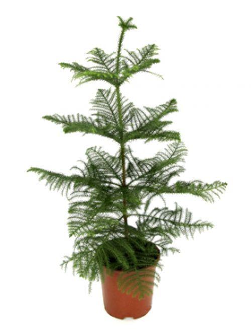 Растений алаказии комнатные растения
